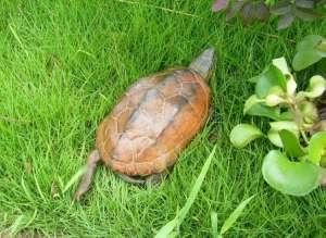 中华草龟价格